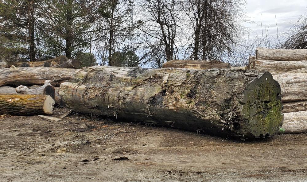gigantic reclaimed sinker redwood log