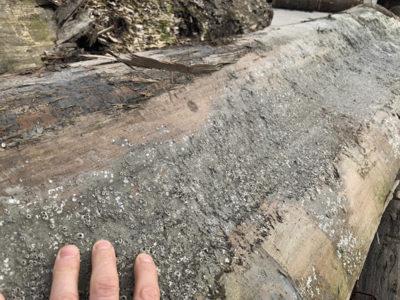 barnacles on reclaimed sinker redwood logs