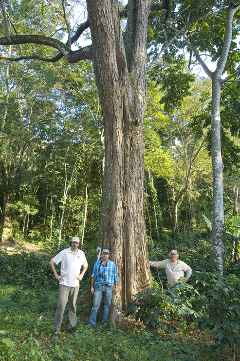 rosewood tree on a coffee farm